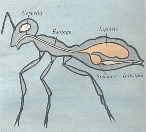 Le formiche - Come debellare le formiche in casa ...